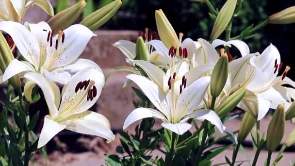 the wind shakes the lily flowers as an ornamental garden ornament