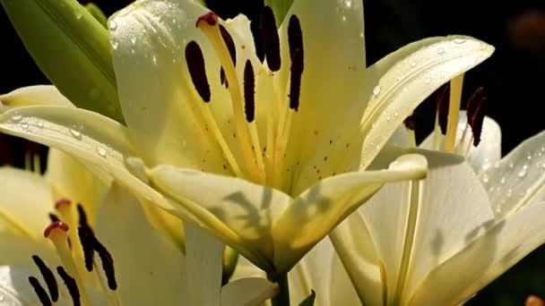 a szél rázza a liliom virág, mint egy díszes kerti dísz
