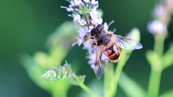 méh nektárt gyűjt a virágok gyönyörű borsmenta