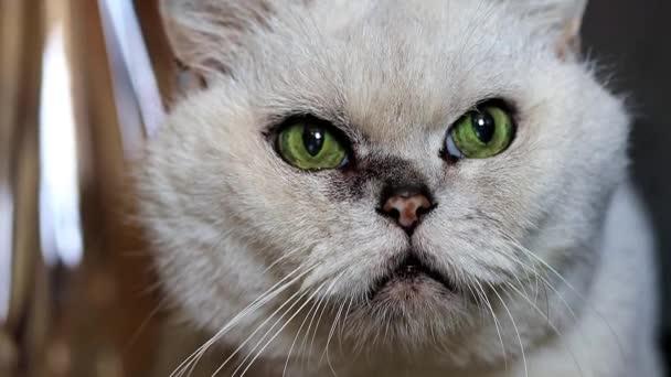 figyelmes megjelenés-ból egy szürke fajtiszta macska