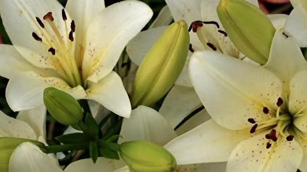 kecses, szép nyári liliom virág a kertben füves