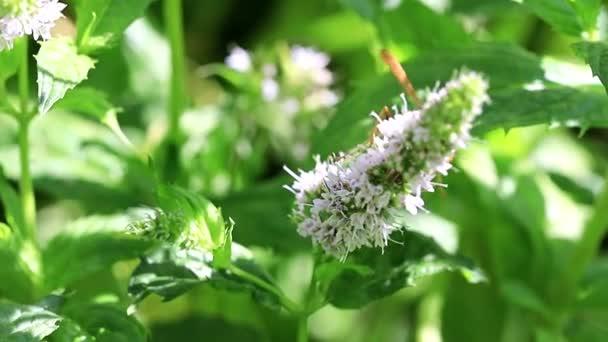 vosa shromažďuje nektar z čerstvých květin na rostlina máta