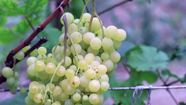 vine with ripe grapes on the plantation
