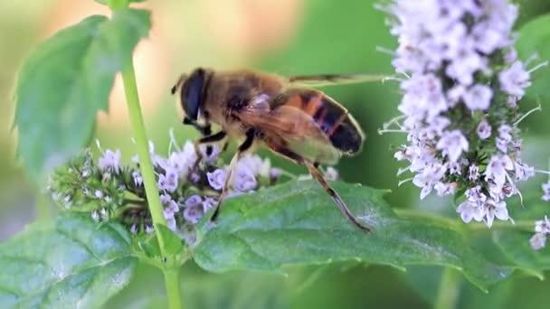 divoké včely shromažďuje čerstvý Květinový nektar ze zahrady mátu