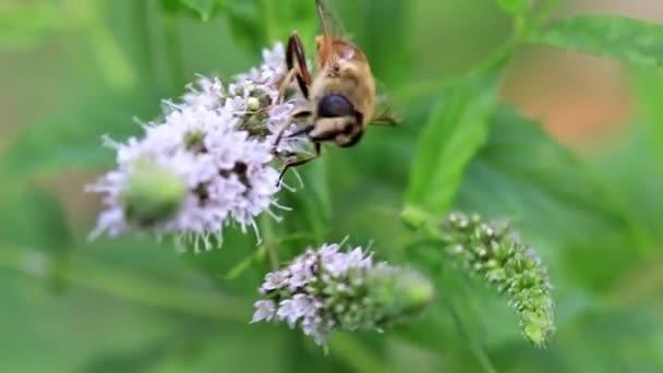 Velká včela sbírá nektar z květů zahradní máty peprné