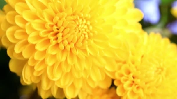 bright yellow buds of the garden chrysanthemum as an element of the holiday