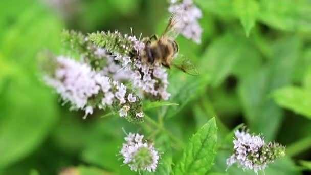 divoké včely shromažďuje nektar z květin zahradní mátu
