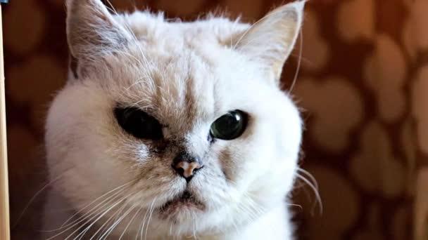felnőtt dühös nézni telivér macska a határon a házát