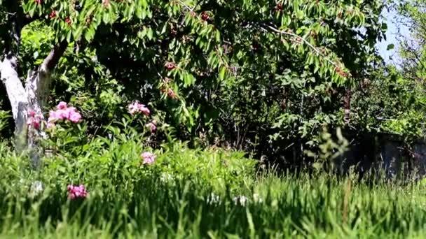 frische reife Kirsche auf den Zweigen eines Obstbaums und grünes Gras mit Blumen