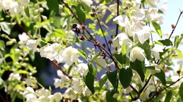 krásné bílé květiny na jasmíšním větvích