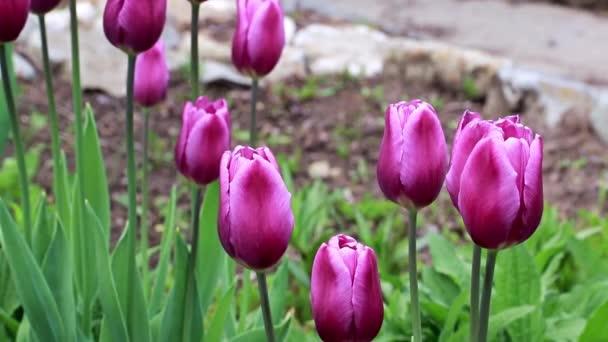 překrásné jarní purpurové květiny zahradní tulipány