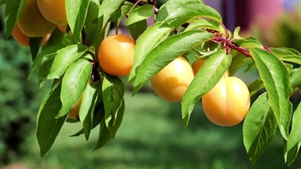 ripe apricot fruits hang on a branch of a garden tree