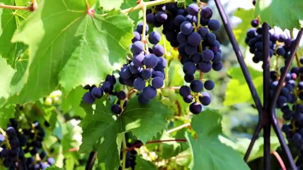 zelené listy a kartáče z černého vína na větvích