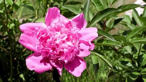gyönyörű fényes friss rügyek kerti virágok bazsarózsa
