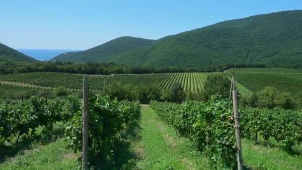 Summer vineyard, vines hung with ripening grapes, Abrau Durso in  Krasnodar Territory, Russia.