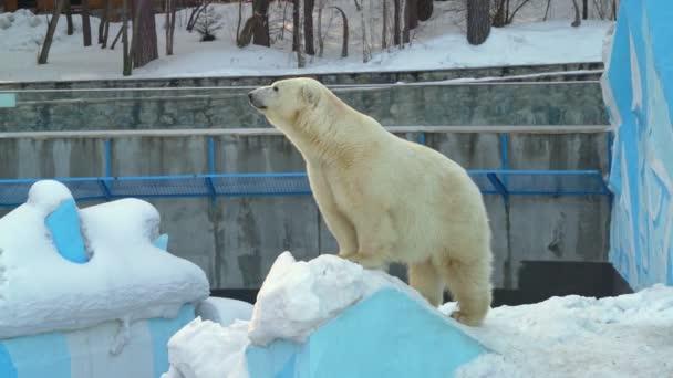 polar bear on snow in zoo