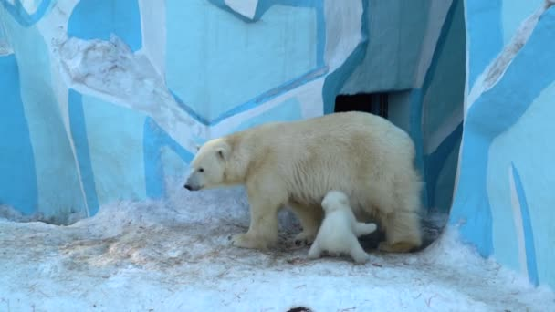 Polar bear mother (Ursus maritimus) with two baby cubs in zoo