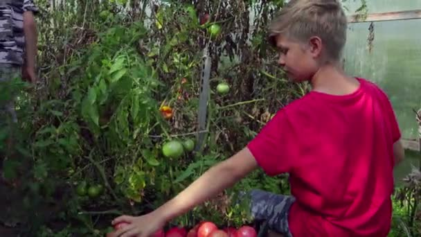 Children harvest tomatoes in a greenhouse