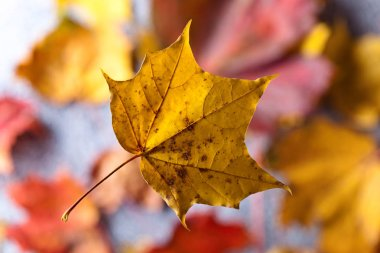 The Autumn background with yellow maple leaves