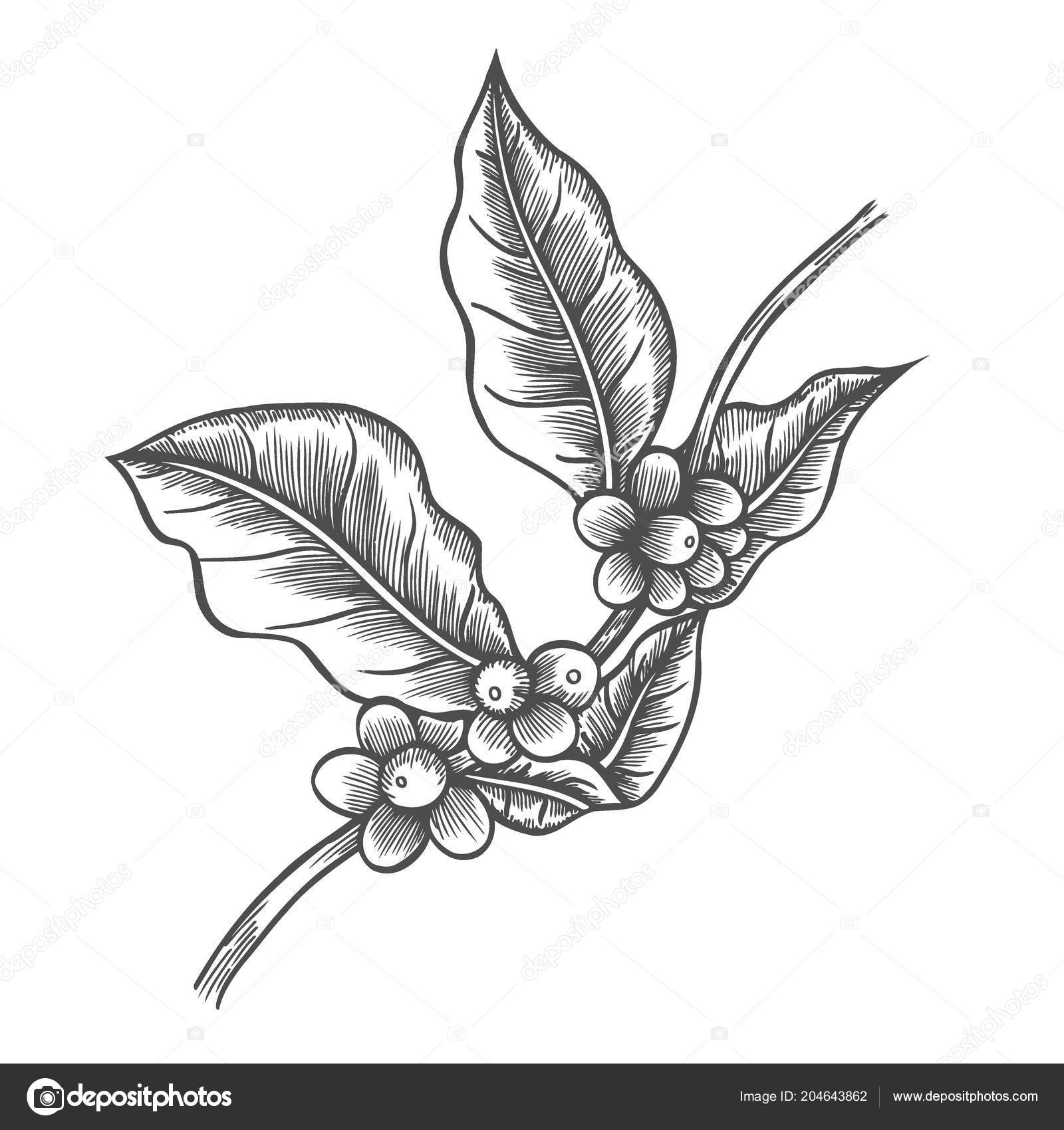 Coffee tree illustration engraved style illustration vintage image coffee tree illustration engraved style illustration vintage image style stock vector thecheapjerseys Gallery