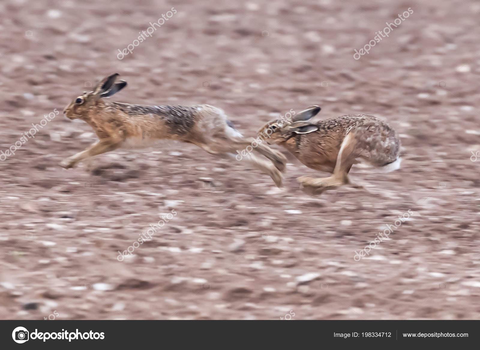 Running Brown Hares Dirt Field Norfolk Mating Season Wild