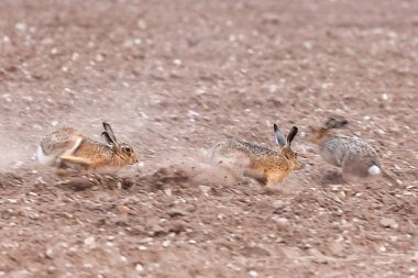 Speeding wild brown hares racing across the arable field in Norfolk during the mating season. Close up view of animals during high speed chasing across a ploughed farmland.