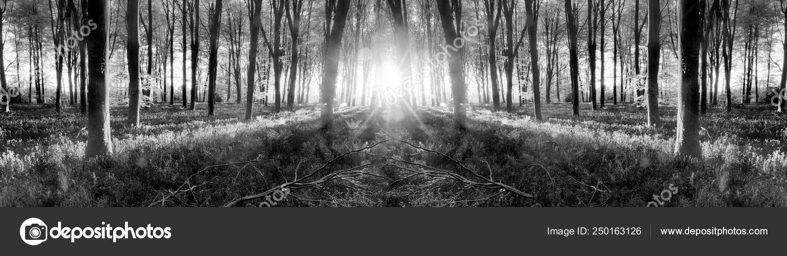 Bluebell woods sunrise in spring black and white — Stok Foto