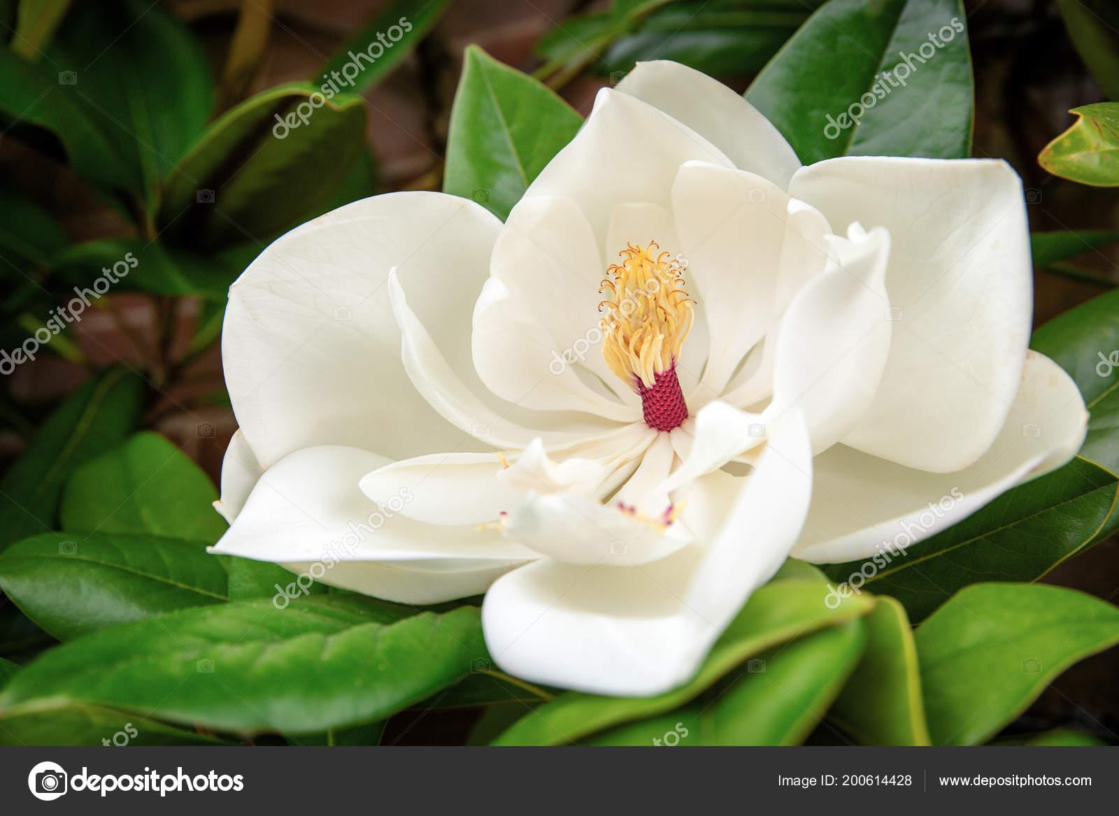 Beautiful White Flower Magnolia Grandiflora Southern Magnolia