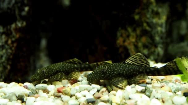 Aquarium Fish Catfish Ancistrus Stock Video C Xtrekx 198802288