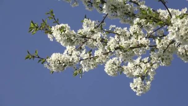 Třešňové květy na modré obloze. Jarní květinové pozadí. Třešňové květy kvetoucí na jaře