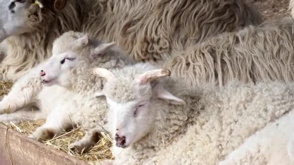 Ovčí stádo žvýkat seno leží na suché trávy v ovčín, mladý ram v ranči. Valašská ovce.