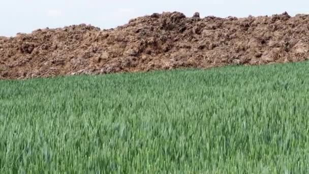 Fresh manure heap at the edge of a rye field. Spring agriculture.