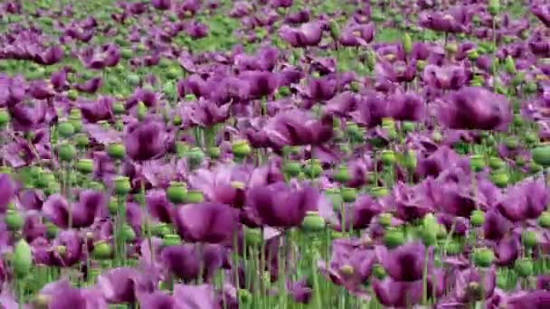 Purple poppy blossoms in a field. (Papaver somniferum). Poppies, agricultural crop.