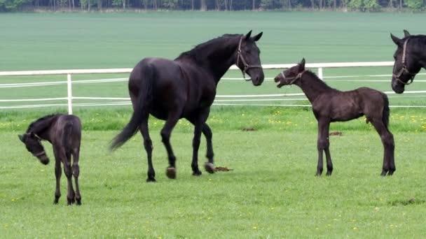 Černá kladrubian kůň, klisna březí