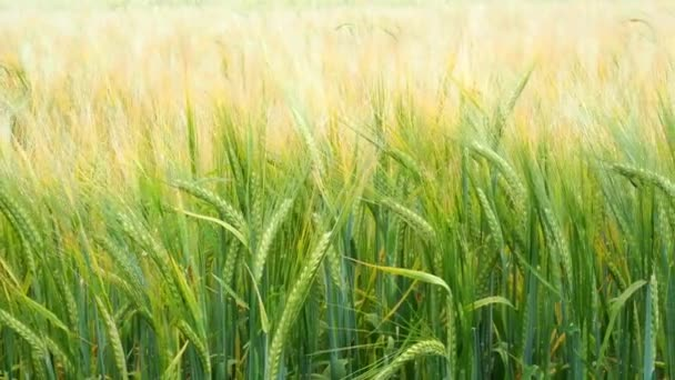 Wheat field. Green ears of wheat on the field. Background of ripening ears of meadow wheat field. Rich harvest Concept
