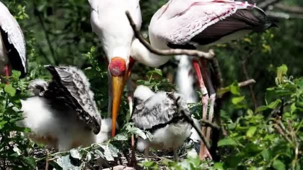 White stork (mycteria cinerea) feeding chicks. Birds nest. Family mycteria cinerea in the nest.