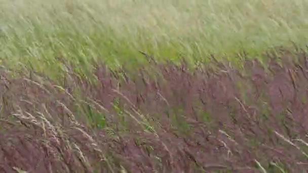 Kvetoucí trávy na louce. Vítr v trávě.