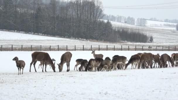 Velké stádo evropských jeleni a daňci na platformě krmení v zimě