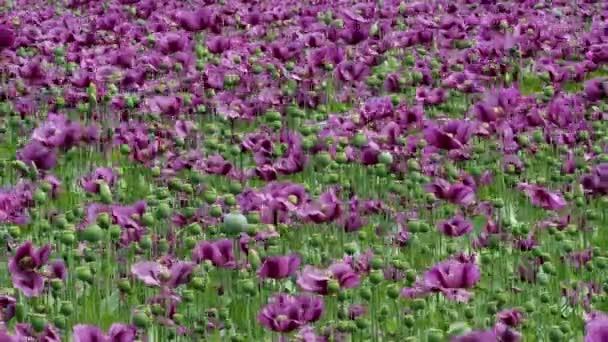 Zelená kapsle opiového máku, fialová makové květy v poli. (Papaver somniferum). Mák, zemědělské plodiny