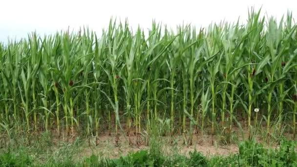 Zelené louce mladé kukuřice. Zemědělské pole kukuřice. Zemědělské plodiny