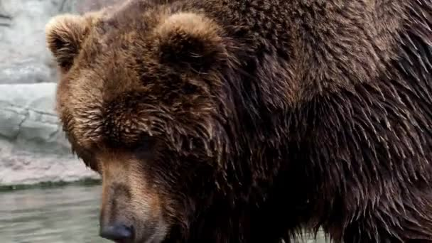 Medvěd hnědý (Ursus arctos beringianus). Hnědý kožich, nebezpečí a agresivní zvíře. Velký savec z Ruska.