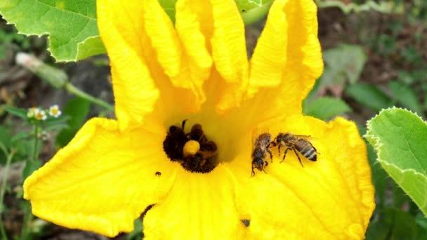 A méhek cukkini virág. Beporzás virágok. Cukkini, növényi kert növekszik.