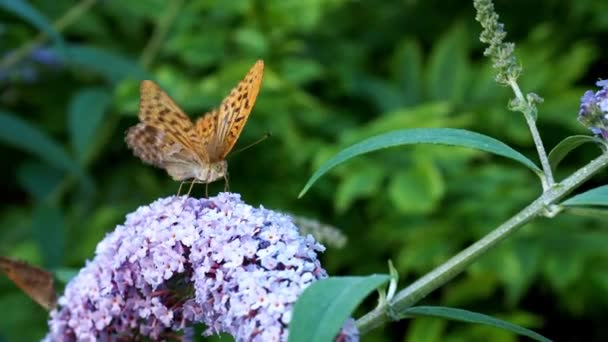 Silver-washed Fritillary or Argynnis paphia sitting on butterfly bushes