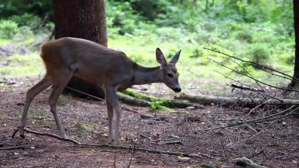 Roe szarvas az erdőben, Capreolus capreolus. Vadon élő őz a természetben.