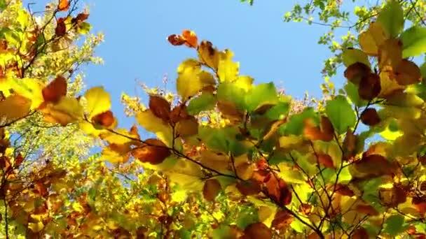 Podzimní listí buku v lese proti modré obloze. Nízký úhel pohledu barevné podzimní listí na stromech.