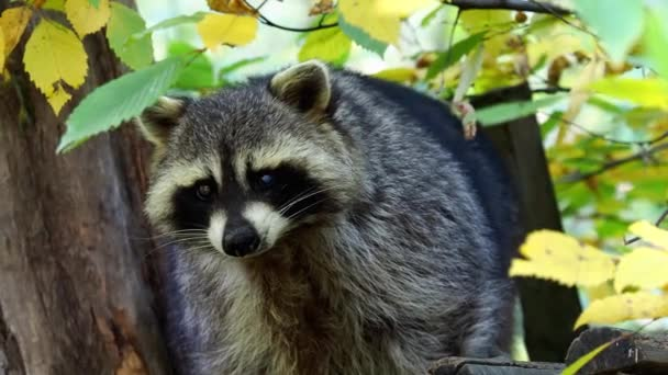 Raccoon (Procyon lotor) and autumn leaves in background. Also known as the North American raccoon.