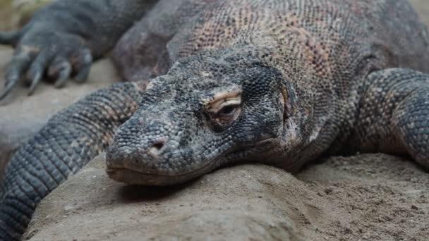 Komodo dragon, Varanus komodoensis. A világ legnagyobb gyík pihen.