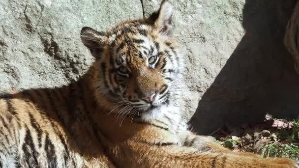 Cucciolo di tigre di sumatran carina (Panthera tigris sumatrae)
