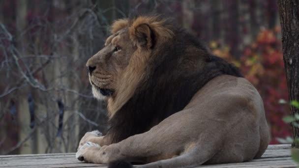 Ázsiai oroszlán (Panthera leo persica). Kritikusan veszélyeztetett faj.