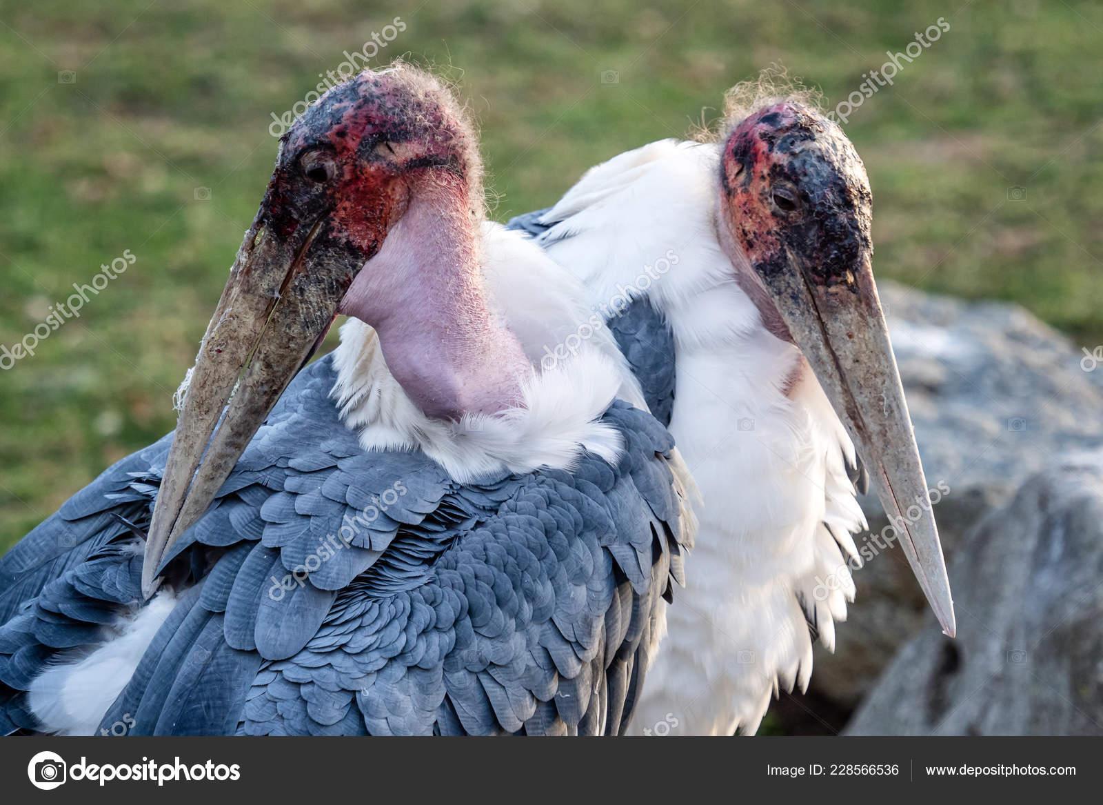 птица семейства аистовых